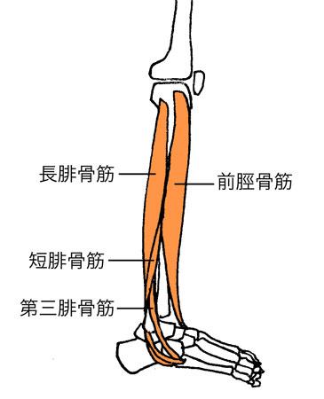 腓骨筋、前脛骨筋