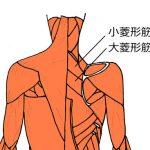 菱形筋のイラスト