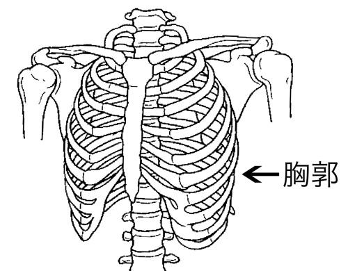 「胸郭 イラスト」の画像検索結果
