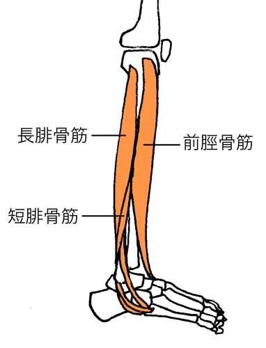 前脛骨筋、腓骨筋