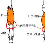 筋腱移行部