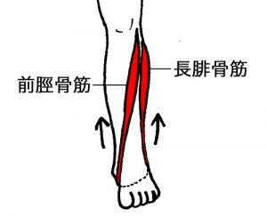 前脛骨筋、長腓骨筋