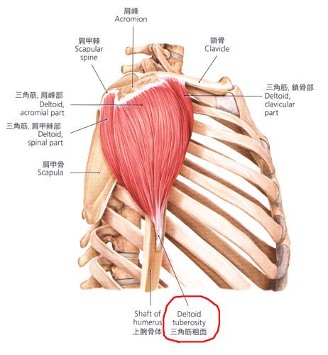 肩を挙げる筋肉、三角筋。 - 熊谷市「たかなが整体院」ブログ