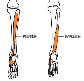 下腿インナーマッスル