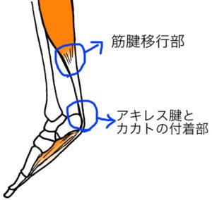筋腱移行部とカカト付着部