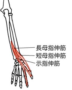 長母指伸筋、短母指伸筋、示指伸筋