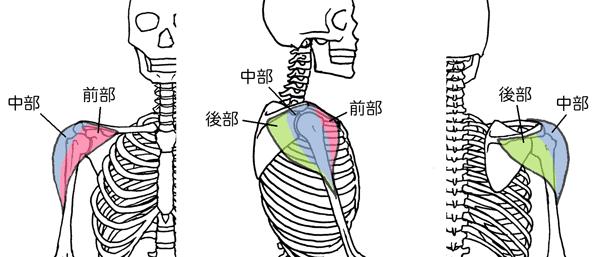 三角筋、前部、中部、後部