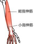 総指伸筋、小指伸筋