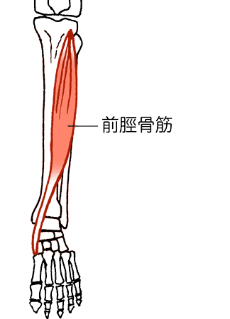 「前脛骨筋腱」の画像検索結果