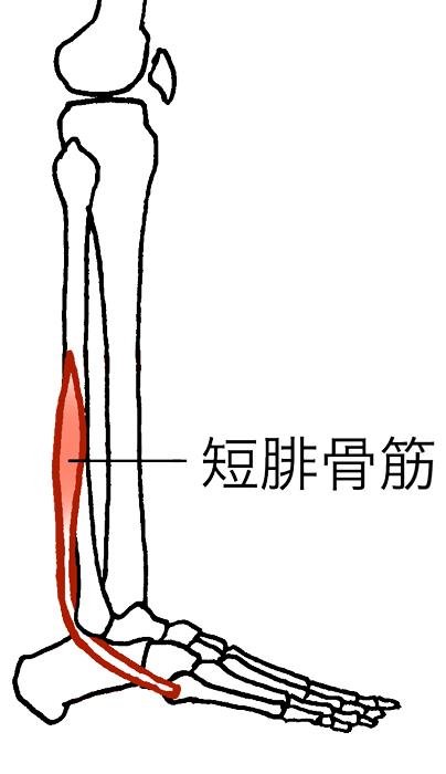 「短腓骨筋」の画像検索結果