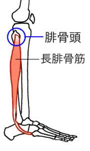 腓骨頭と長腓骨筋