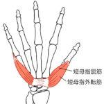 短母指屈筋、短母指外転筋