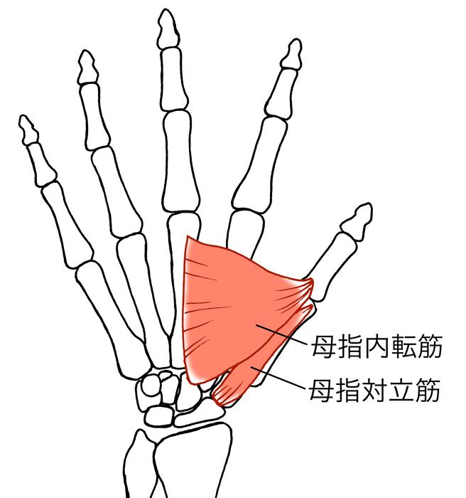 母指内転筋、母指対立筋