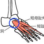 短母趾伸筋、短趾伸筋、足根洞