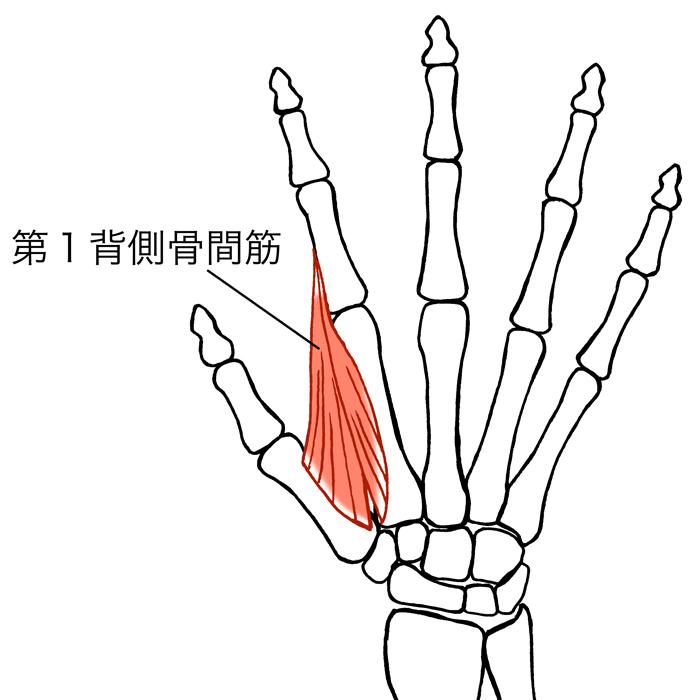 第一背側骨間筋