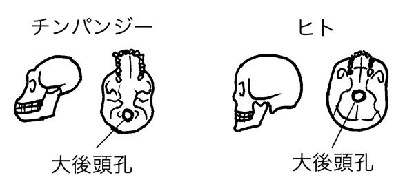 ヒトとチンパンジーの大後頭孔の位置