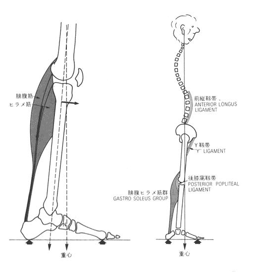 立位は靭帯で安定する