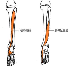 後脛骨筋、長母趾屈筋