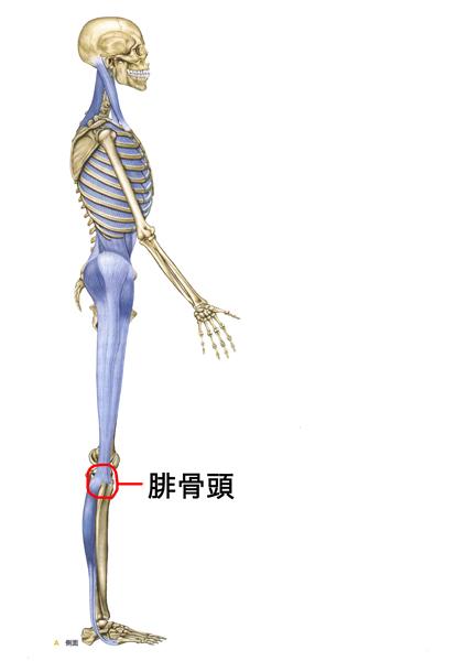 ラテラルラインの腓骨頭