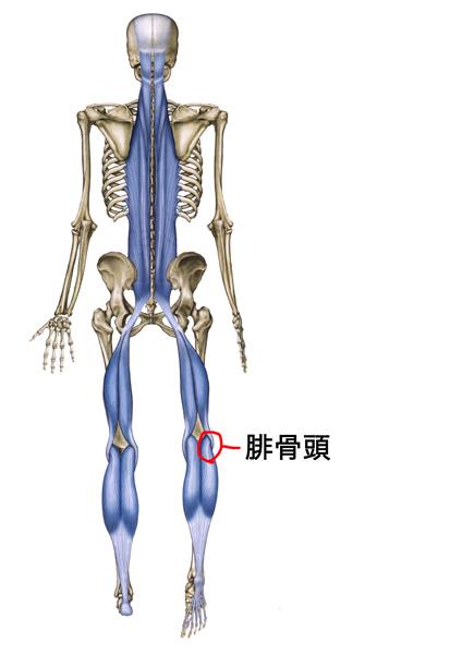 バックラインの腓骨頭