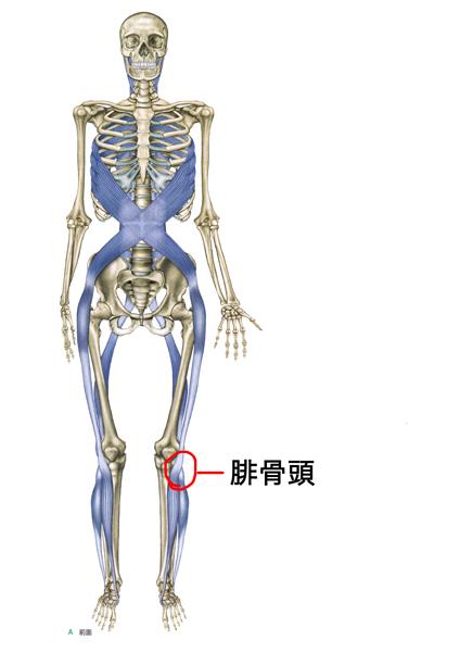スパイラルラインの腓骨頭